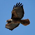 Western Red Tailed Hawk by Barrie Woodward