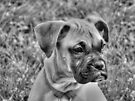 Baby Boxer  by Marcia Rubin
