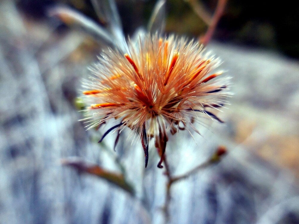 Aster Seedhead by Chris Gudger