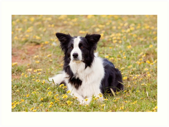 Border Collie in a field of Yellow Flowers by Michelle Wrighton