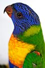 Rainbow Lorikeet by Renee Hubbard Fine Art Photography