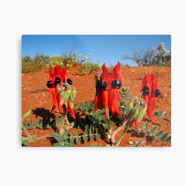 Sturts Desert Pea - South Australia Metal Print