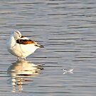 AVOCET by Kathy Cline