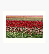 Skagit Valley Tulip Fields Art Print