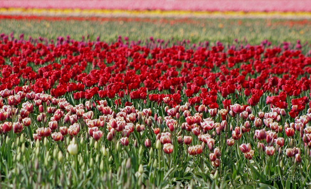 Skagit Valley Tulip Fields by Debbie Stika