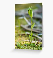 Short Eared Snail Orchid  Greeting Card