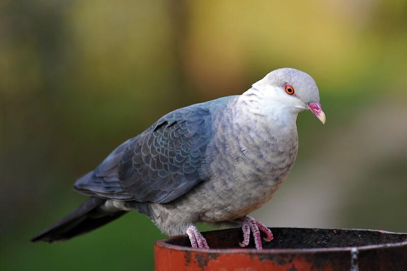 """Female White Headed Pigeon. Brisbane, Queensland ..."