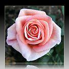 Sweet Serenity - Pink Rose in Reflection Frame von BlueMoonRose