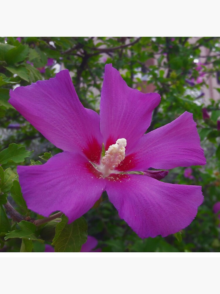 Purple Hibiscus by tomeoftrovius
