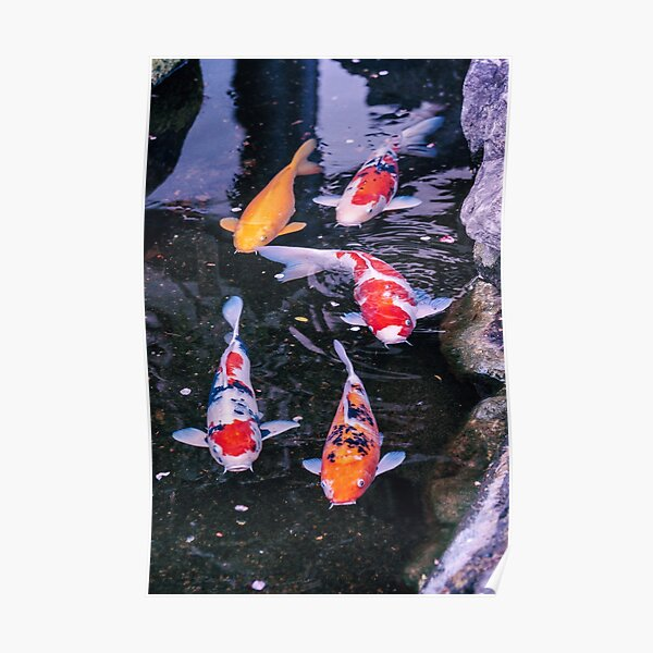 Japon - Carpes Koï Poster