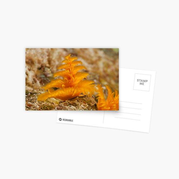 Christmas Tree Worm, Kimbe Bay, New Britain, Papua New Guinea. Postcard