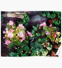 Begonias By Stone Wall Poster