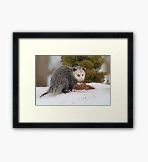 Opossum Framed Print