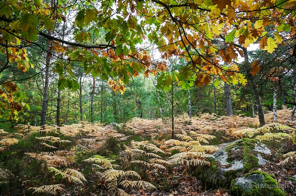 Fontainebleau Forrest, Autumn 2015 by David Mapletoft