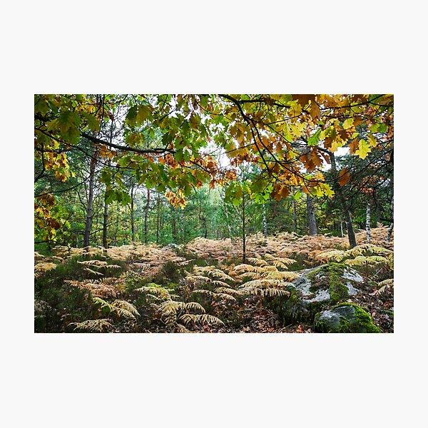 Fontainebleau Forrest, Autumn 2015 Photographic Print