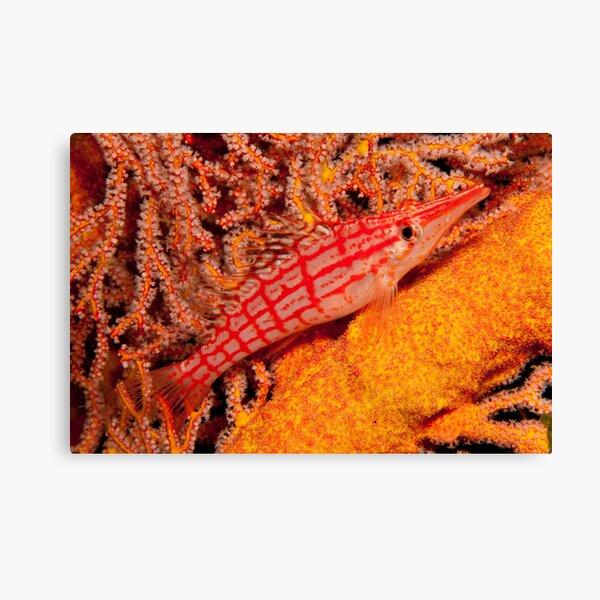 Longnose Hawkfish, Papua New Guinea Canvas Print