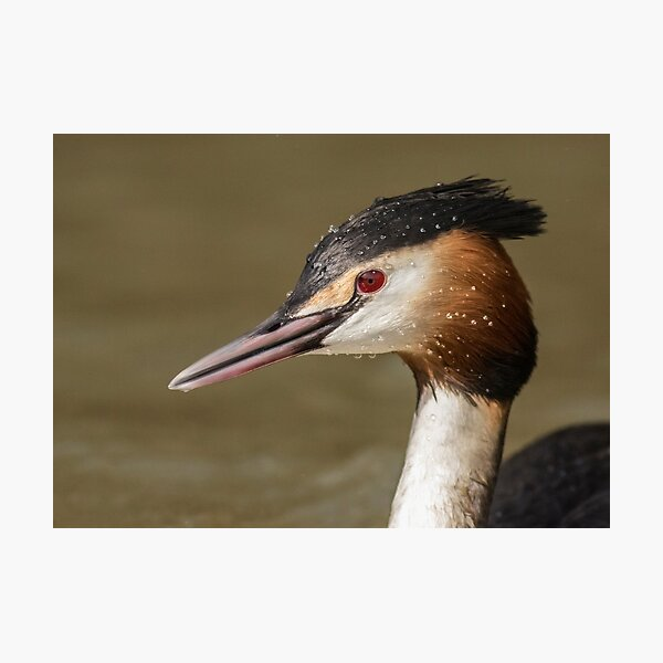 Great Crested Grebe Photographic Print