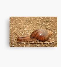 Giant land snail, Achatina achatina, South Africa - Lowveld Canvas Print