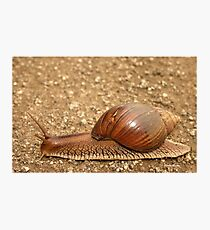 Giant land snail, Achatina achatina, South Africa - Lowveld Photographic Print