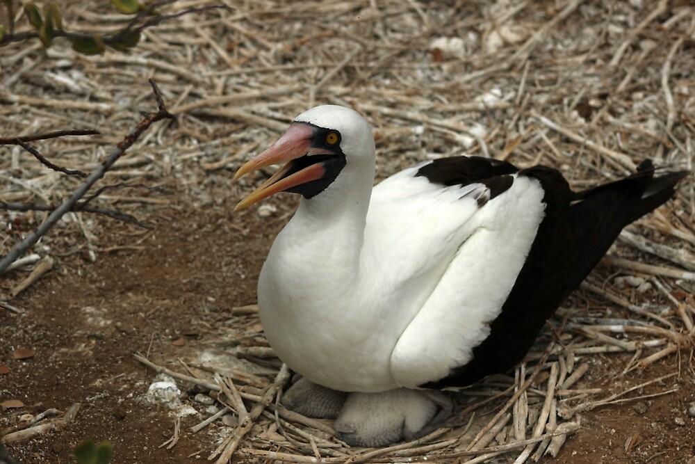 Nazca Boobie on a Nest by rhamm