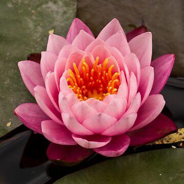 Pinky Orange Water Lily by Wealie