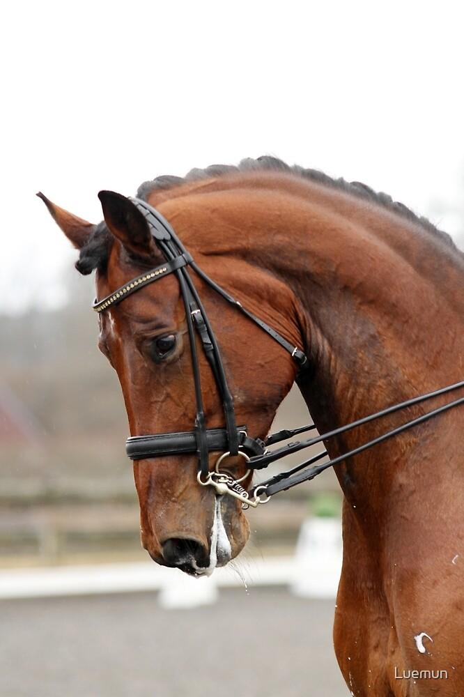Grand Prix Dressage Stallion by Luemun