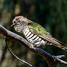Shining Bronze-Cuckoo by Rick Playle
