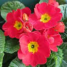 Ladies in Red - Scarlet Primroses by Kathryn Jones