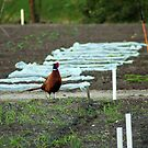 Wild pheasant supervising the school gardens by steppeland