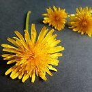 Indoor Sunshine...Dandelions by Meg Hart