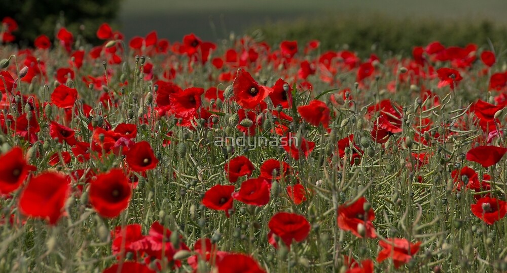 Cotswold Poppy Field by andynash