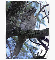 Tawny Frogmouth (Podargus strigoides) - Kensington Park, South Australia Poster