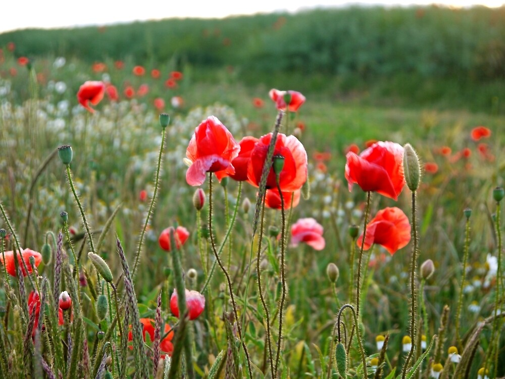 Poppies by Mijn
