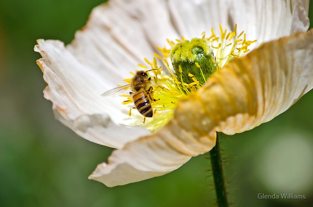 Poppy and the Bee by Glenda Williams