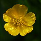 Buttercup  by Bev Pascoe