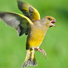 Greenfinch ~ In flight by M S Photography/Art