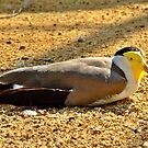 Masked Lapwing by Susan Dailey