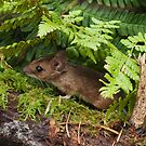 Woodmouse in the Undergrowth by kernuak