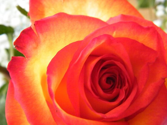 Red and Yellow Rose by Graham Beatty