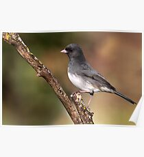 Slate-Colored Junco Poster