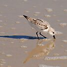 Piping Plover by Robin Black