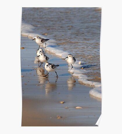 Piping Plovers 2 Poster