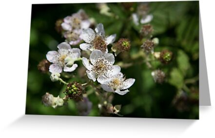 Blackberry Blossom by Pauline Tims