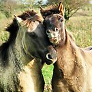 SMILE BRO (Konik stallions at nature reserve the oostvaarders plassen) by Johan  Nijenhuis