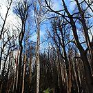 Post February 2009 Bushfires Victoria - Marysville July09 by Emmy Silvius