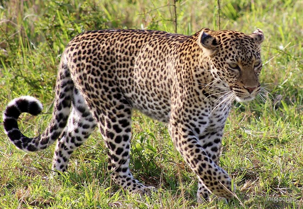 Lowly Leopard Loitering!! by mrsjaques