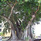 Banyon Tree by tapiona