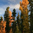 """  The beautiful Deciduous - Conifer  "" by fortner"