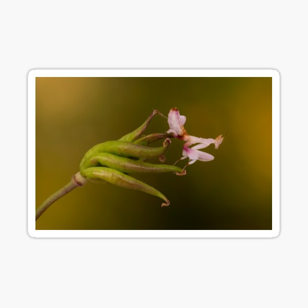 Orchid mantis on seedhead Sticker