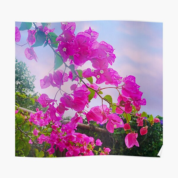 Bougainville  Poster
